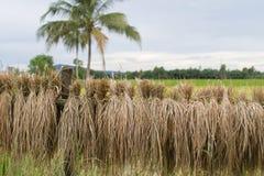Raccolto del riso Fotografie Stock Libere da Diritti
