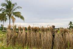 Raccolto del riso Fotografie Stock