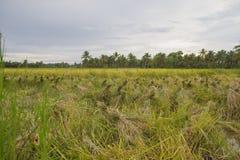 Raccolto del riso Immagini Stock