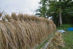Raccolto del riso Immagine Stock