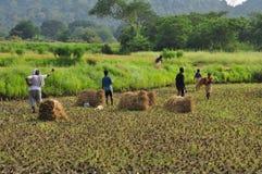 Raccolto del riso in India rurale Risaie, campagna indiana Immagine Stock