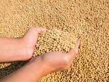 Raccolto del seme della soia a disposizione Fotografia Stock