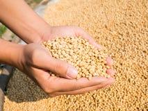 Raccolto del seme della soia a disposizione Immagini Stock Libere da Diritti