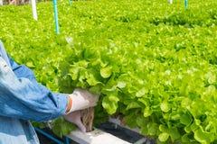 Raccolto del sistema dell'azienda agricola di agricoltura biologica di coltura idroponica Fotografia Stock