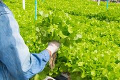 Raccolto del sistema dell'azienda agricola di agricoltura biologica di coltura idroponica Fotografie Stock Libere da Diritti