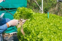 Raccolto del sistema dell'azienda agricola di agricoltura biologica di coltura idroponica Fotografia Stock Libera da Diritti