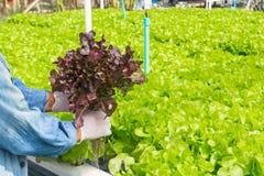 Raccolto del sistema dell'azienda agricola di agricoltura biologica di coltura idroponica, agricoltore Hand Fotografie Stock Libere da Diritti