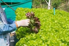 Raccolto del sistema dell'azienda agricola di agricoltura biologica di coltura idroponica, agricoltore Hand Fotografia Stock