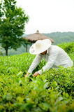 Raccolto del tè Immagini Stock