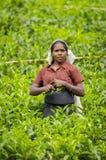 Raccolto del tè nel paese della collina della Sri Lanka Fotografia Stock Libera da Diritti