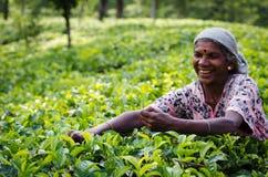 Raccolto del tè nel paese della collina della Sri Lanka Fotografia Stock