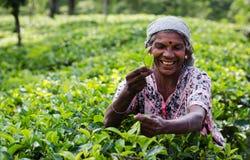Raccolto del tè nel paese della collina della Sri Lanka Fotografie Stock
