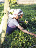 Raccolto del tè nel paese della collina della Sri Lanka Immagini Stock Libere da Diritti