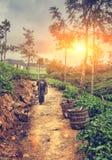 Raccolto del tè nell'alpeggio dello Sri Lanka illuminato da sunl luminoso Fotografie Stock Libere da Diritti