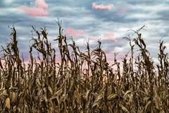 Raccolto del tramonto - cielo variopinto sopra il campo di mais immagine stock