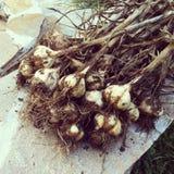 Raccolto dell'aglio Immagini Stock Libere da Diritti