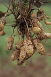 Raccolto dell'arachide fotografia stock libera da diritti
