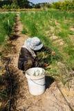 Raccolto dell'asparago fotografia stock libera da diritti