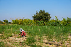 Raccolto dell'asparago fotografia stock