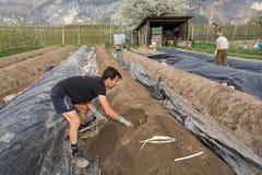 Raccolto dell'asparago nella primavera Immagini Stock