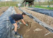 Raccolto dell'asparago nella primavera Immagine Stock Libera da Diritti