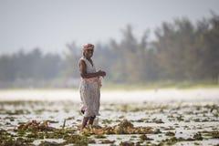 Raccolto dell'erbaccia del mare al rischio dovuto l'aumento di temperatura dell'acqua Immagini Stock
