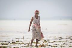 Raccolto dell'erbaccia del mare al rischio dovuto l'aumento di temperatura dell'acqua Fotografia Stock Libera da Diritti