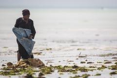 Raccolto dell'erbaccia del mare al rischio dovuto l'aumento di temperatura dell'acqua Immagini Stock Libere da Diritti