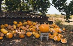 Raccolto dell'iarda e di estate del villaggio delle zucche Fotografie Stock