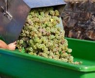Raccolto dell'uva Immagine Stock