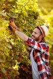 Raccolto dell'uva - agricoltore che lavora nella vigna fotografia stock