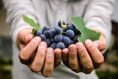 Raccolto dell'uva in autunno fotografie stock