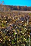 Raccolto dell'uva nel Michigan Immagine Stock Libera da Diritti