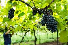 Raccolto dell'uva nella vigna del Brasile Immagini Stock Libere da Diritti