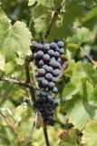 Raccolto dell'uva nera Immagini Stock
