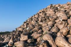 Raccolto della barbabietola da zucchero il mucchio della barbabietola da zucchero Immagine Stock