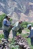 Raccolto della bietola rossa in Argentina del Nord Immagine Stock Libera da Diritti