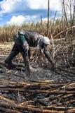 Raccolto della canna da zucchero Fotografie Stock Libere da Diritti