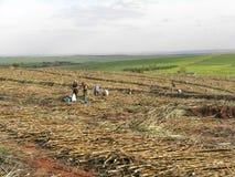 Raccolto della canna da zucchero Fotografia Stock Libera da Diritti