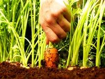 Raccolto della carota Fotografie Stock