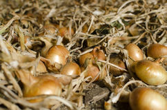 Raccolto della cipolla Fotografia Stock Libera da Diritti