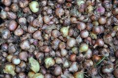 Raccolto della cipolla Immagini Stock