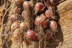 Raccolto della cipolla Essiccamento delle cipolle sul sole Immagine Stock