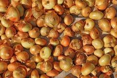 Raccolto della cipolla Essiccamento delle cipolle sul sole Fotografie Stock Libere da Diritti