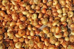 Raccolto della cipolla Essiccamento delle cipolle sul sole Verdure crescenti Fotografia Stock