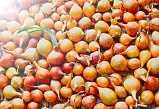 Raccolto della cipolla Essiccamento sul sole Agricoltura di verdure Immagini Stock