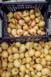 Raccolto della cipolla nel campo di Valencia Spain huerta Immagine Stock Libera da Diritti