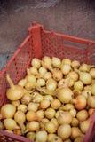 Raccolto della cipolla nel campo di Valencia Spain huerta Fotografie Stock