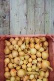 Raccolto della cipolla nel campo di Valencia Spain huerta Fotografia Stock