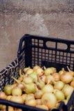 Raccolto della cipolla nel campo di Valencia Spain huerta Fotografie Stock Libere da Diritti